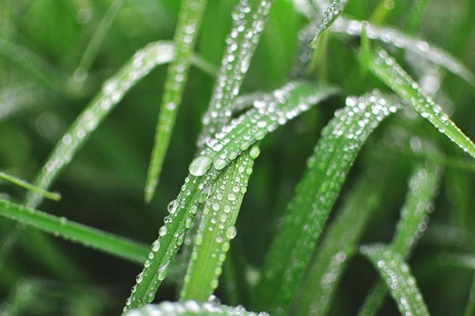 Césped mojado en primavera (riego)